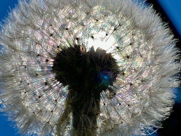 A dandelion up close. - ROWDY KELLEY/HUMBOLDT GEOGRAPHIC