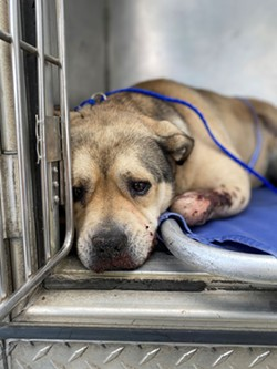 Injured dog discovered at the Samoa Dunes - HCSO
