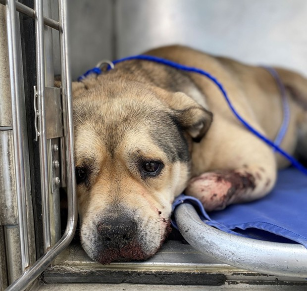 Injured dog discovered at the Samoa Dunes - HCSO
