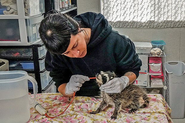 Wildlife rehabilitator Stephanie Owens feeds an orphaned female Northern Raccoon at the Humboldt Wildlife Care Center in Bayside. - PHOTO BY MATTHEW FILAR