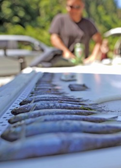 Dead juvenile salmon pulled from the Klamath River. - COURTESY OF THE YUROK TRIBE