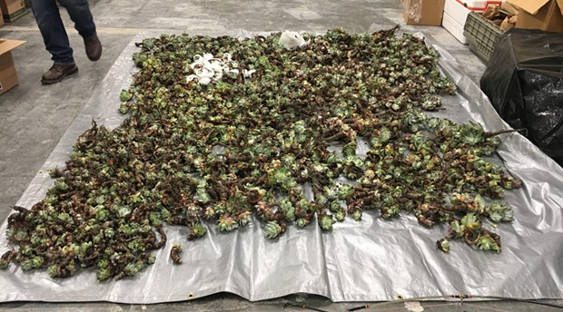 Succulent poaching is on the rise, CDFW officials say, with some 2,300 recovered in Humboldt County in 2018. - COURTESY OF CDFW
