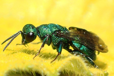 The green kleptoparasite cuckoo wasp.