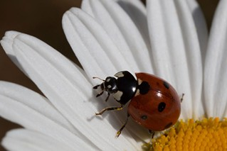 Seven Spotted Ladybird Beetle (Coccinella septempunctata), an imported species from Europe is used as a biocontrol for aphids and other pests. - ANTHONY WESTKAMPER