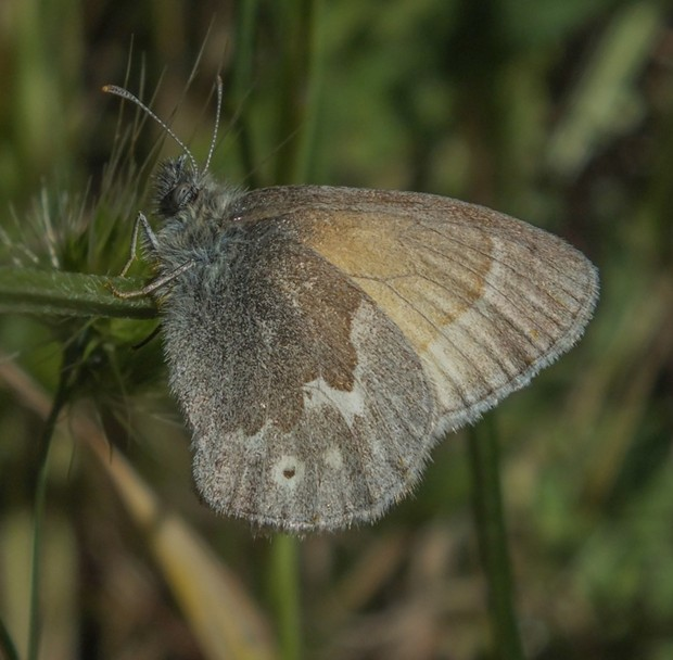Camouflage is the California Ringlet's primary defense. - ANTHONY WESTKAMPER