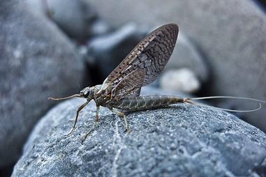 A mayfly up close.