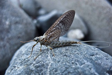 A mayfly up close.