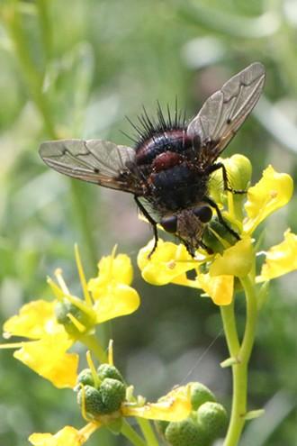 A tachnid fly on a flower: still fugly. - ANTHONY WESTKAMPER