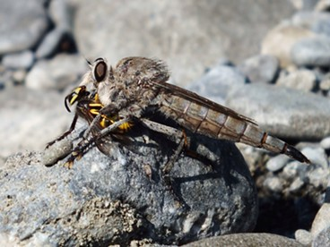 A robber fly makes bug soup out of a yellow jacket. - ANTHONY WESTKAMPER