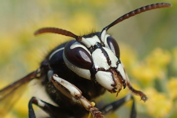 Know your enemy: the bald faced hornet is a nasty one. - ANTHONY WESTKAMPER