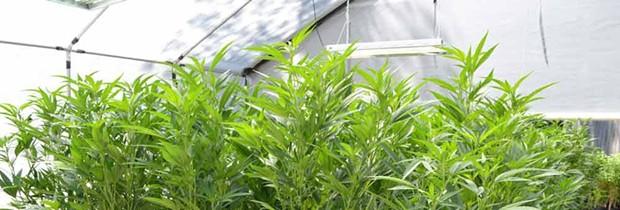 week_in_weed-magnum.jpg