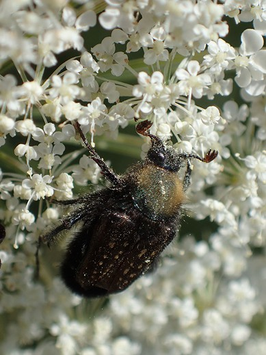 Rathvone's scarab beetle, another fuzzy pollinator. - ANTHONY WESTKAMPER