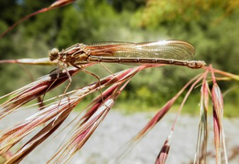 A damsel in no distress: the American ruby spot female. - ANTHONY WESTKAMPER