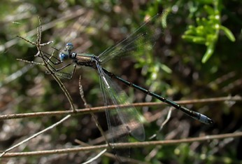 The open wing posture of a black spreadwing. - ANTHONY WESTKAMPER