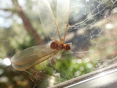 A termite caught in a web. - ANTHONY WESTKAMPER