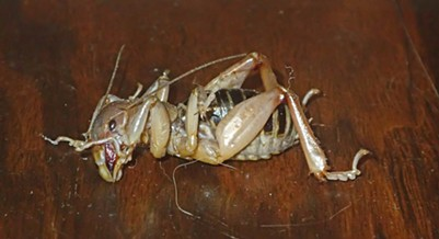 The Jerusalem cricket: big and muscle-brained.