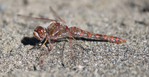 The variegated meadowhawk dragonfly dries out for survival.