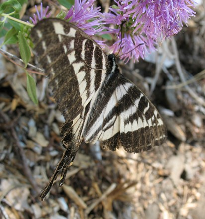 The battered wings of a pale swallowtail butterfly. - ANTHONY WESTKAMPER