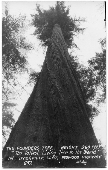 The giant Founder's Tree became a symbol of something much larger during World War II. - HUMBOLDT HISTORICAL SOCIETY