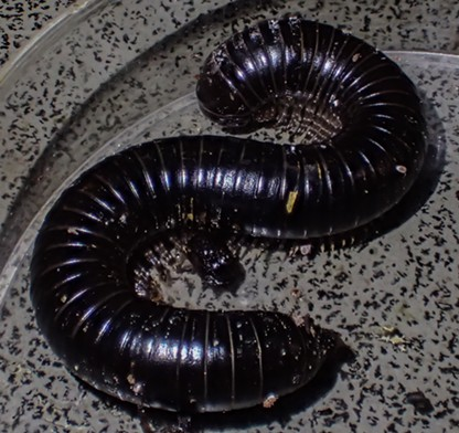 This millipede measures 10 centimeters. - ANTHONY WESTKAMPER