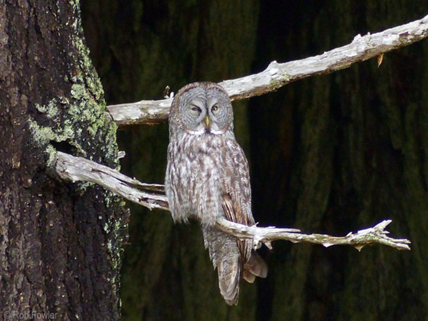 The Great Gray Owl. - ROB FOWLER