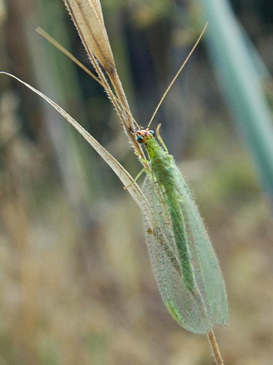 The aphid-hunting green lacewing. - ANTHONY WESTKAMPER