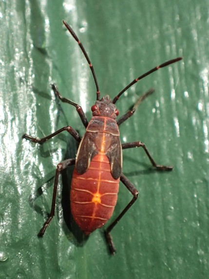 Juvenile box elder bug. - ANTHONY WESTKAMPER