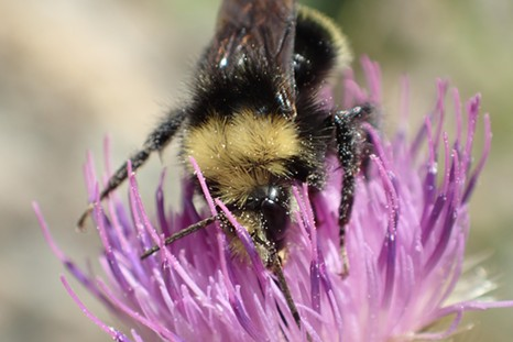 The fuzzy fellow on a thistle. - ANTHONY WESTKAMPER
