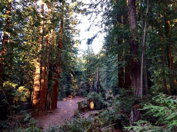 With dense forests of redwood, Douglas fir and spruce, the Bayview Street property is a potentially attractive acquisition for the city of Arcata and Humboldt State University. - COURTESY OF KYLA TRIPODI