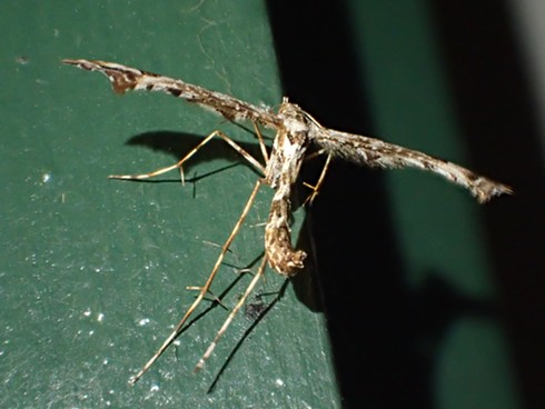 Plume moth in T-formation. - ANTHONY WESTKAMPER