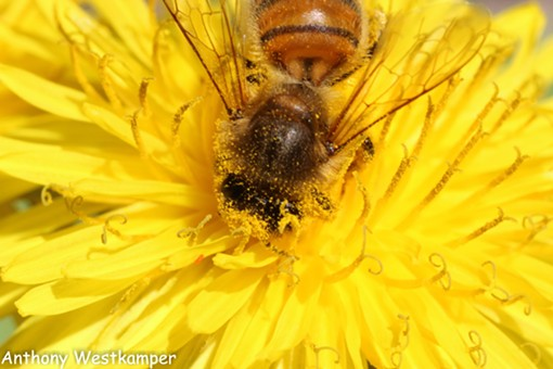 A honeybee going to town on dandelion pollen. - ANTHONY WESTKAMPER