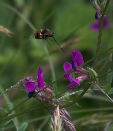 Hunting the bee fly as it hunts for pollen. - ANTHONY WESTAMPER