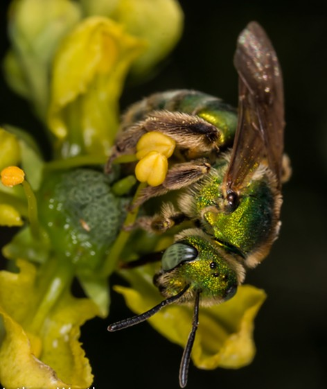 Hey, five-eyes. A Halictid bee shows three tiny oceli between its larger compound eyes. - ANTHONY WESTKAMPER