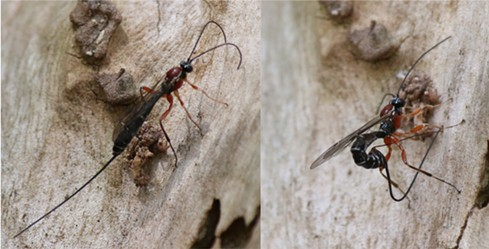 A stephanid wasp tracking with its antennae, then drilling to lay an egg that will devour the grubs within.