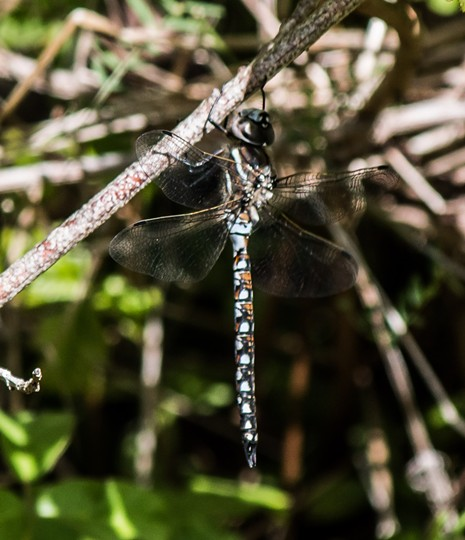 The male California darner is all flash. - ANTHONY WESTKAMPER