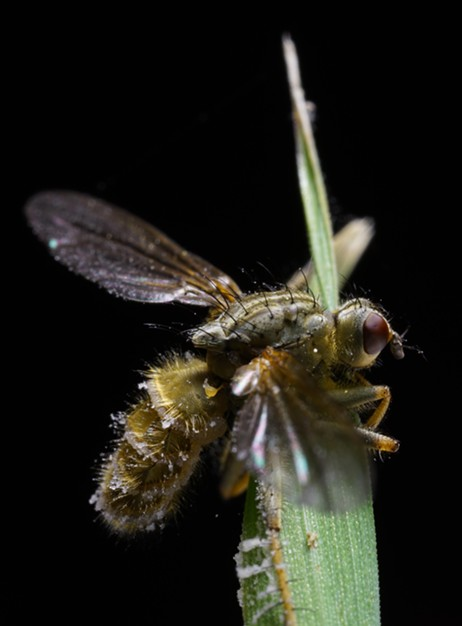 The zombie dung flies are back. - ANTHONY WESTKAMPER