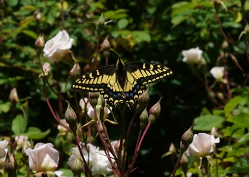 At last, an anise swallowtail.