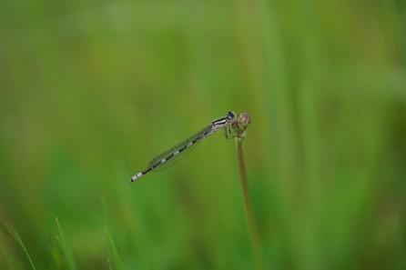 The tule bluet damselfly perches on a dandelion stem. - ANTHONY WESTKAMPER