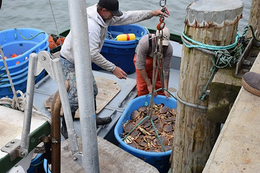 The crew of the Ashlyn-D unloads its haul on the first day of commercial crab fishing in Humboldt County. - JENNIFER FUMIKO CAHILL