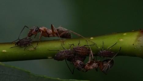 "Ants tending their aphid ""cows."" - ANTHONY WESTKAMPER"