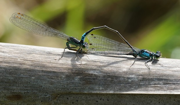 "Male and female Pacific forktails ""in wheel,"" which is what the entomologists are calling it these days."