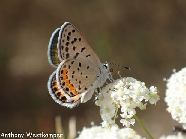 An Acmon blue (Plebejus acmon) making a nectar pitstop. - ANTHONY WESTKAMPER