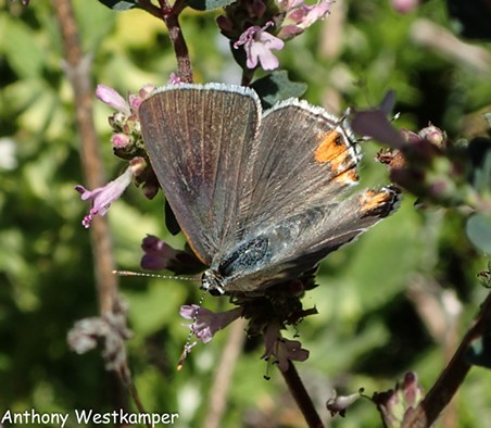 California Hairstreak (Satyrium californicum). - ANTHONY WESTKAMPER