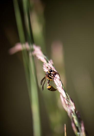 A potter wasp resting. - ANTHONY WESTKAMPER