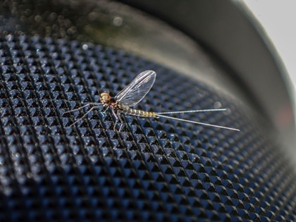 Tiny mayfly on the knurled lens barrel of my camera. - ANTHONY WESTKAMPER