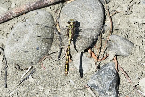 A buffalo snaketail. - ANTHONY WESTKAMPER