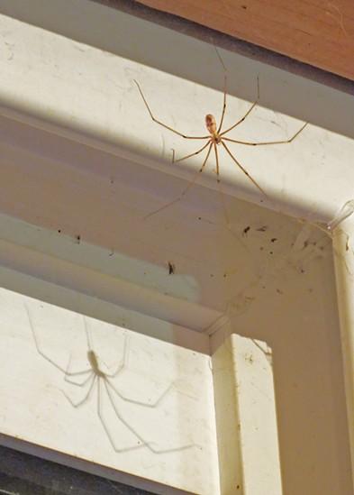 A cellar spider casts a shadow on a window frame. - ANTHONY WESTKAMPER
