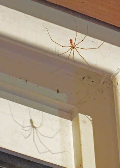A cellar spider casts a shadow on a window frame. - ANTHONY WESTKAMPER