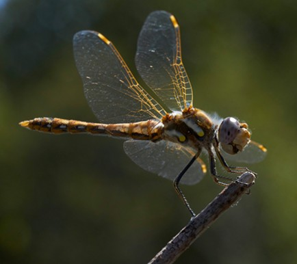 Variegated meadowhawk. - ANTHONY WESTKAMPER