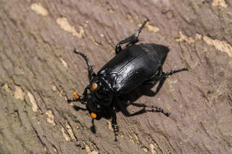 A burying beetle with a mite on its back. - ANTHONY WESTKAMPER